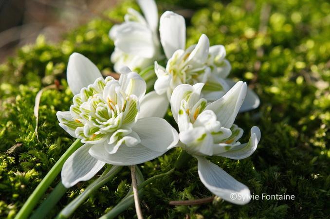perce neige ou galanthus joyeux tapis et petits bouquets. Black Bedroom Furniture Sets. Home Design Ideas