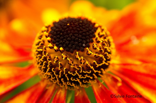 capitule-helenium-jardin-sylvie-fontaine-nord