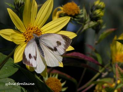 Pieris Napi & Helianthus Lemon Queen