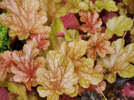 Heuchera-Peach-Flambe