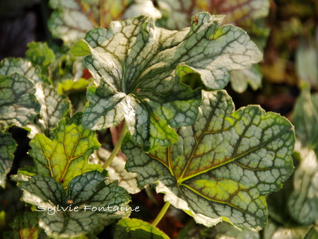 Heuchera-Magic-Color